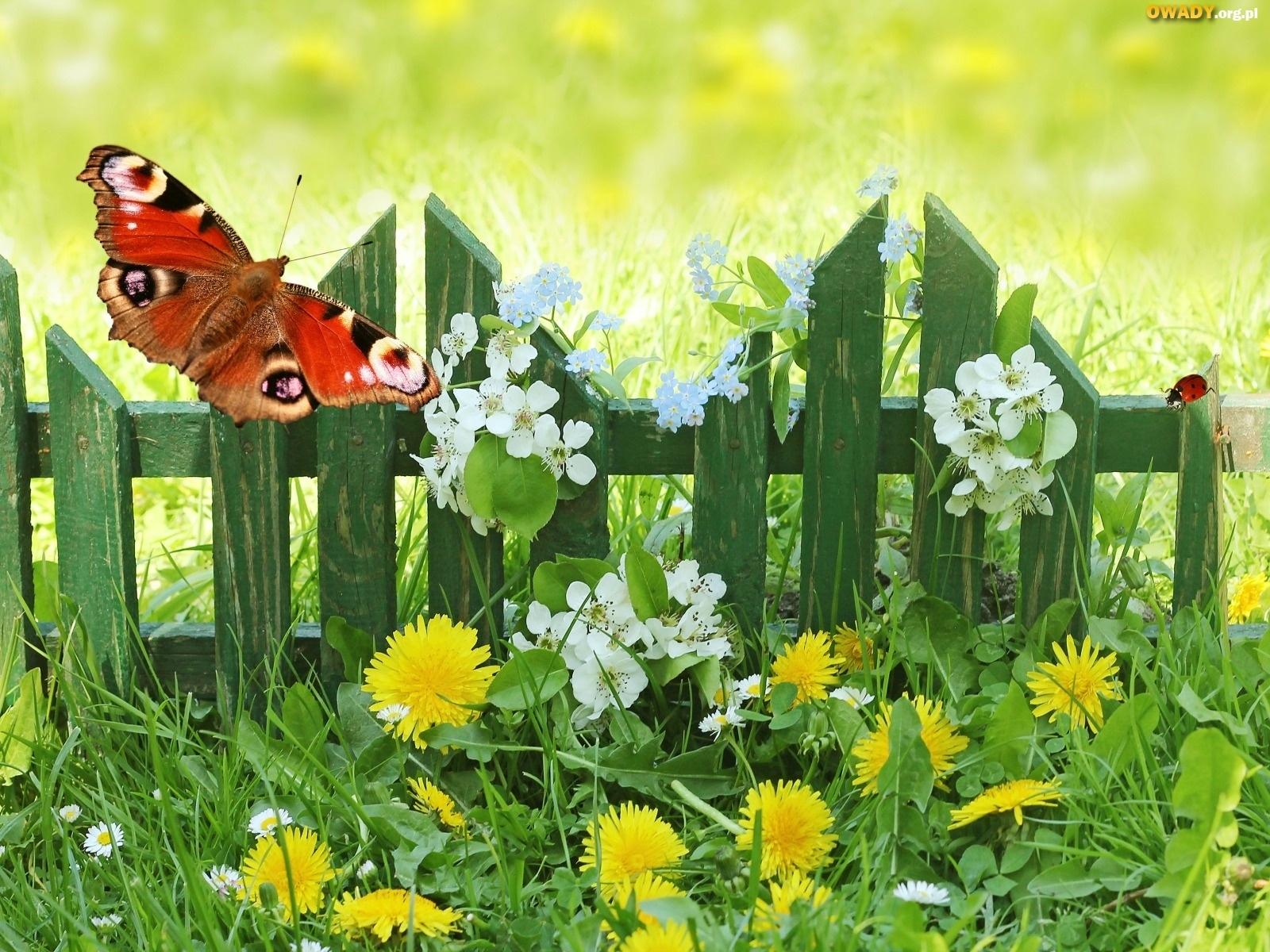 http://www.owady.eu/owady/plotek-aka-kwiaty-motylek-wiosna.jpeg